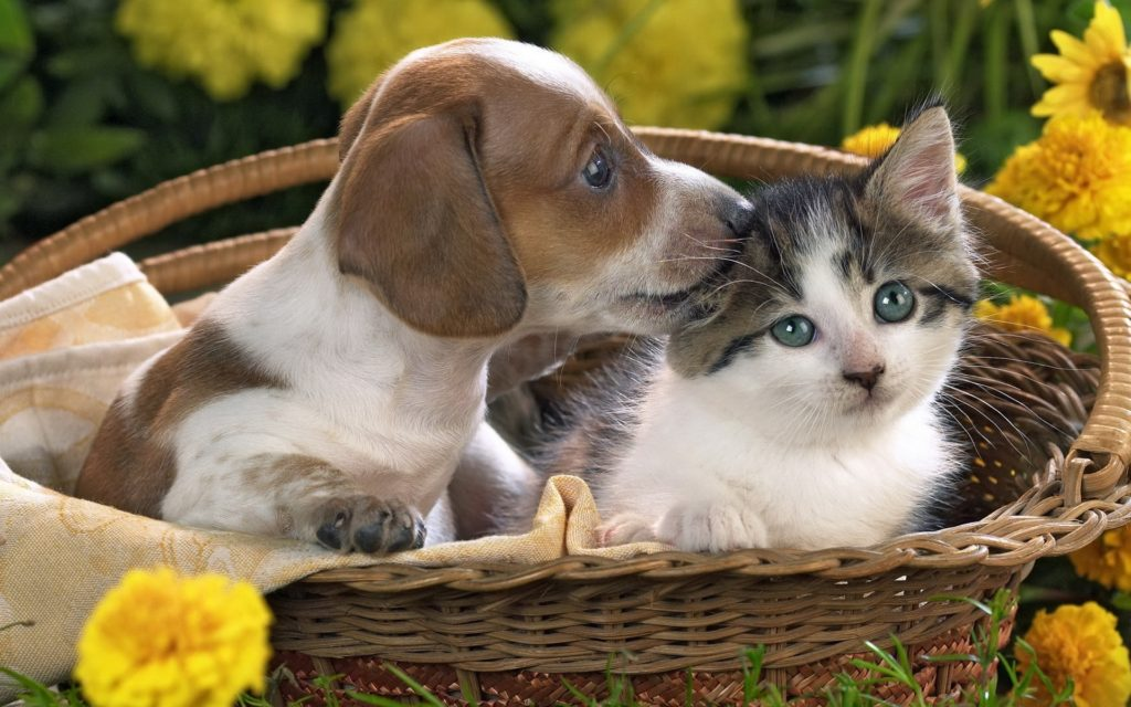 10 New Puppies And Kittens Backgrounds FULL HD 1080p For PC Desktop 2018 free download puppy and kitten wallpapers and images wallpapers pictures photos 1024x640