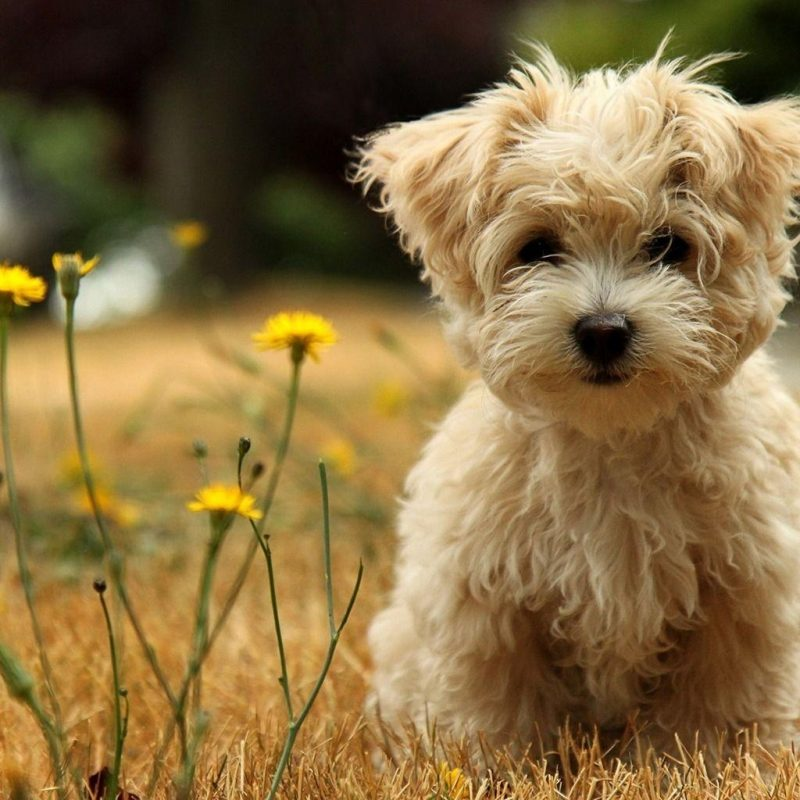10 Most Popular Cute Puppies Wallpapers Free Download FULL HD 1920×1080 For PC Background 2018 free download puppy wallpapers free wallpaper cave 1 800x800