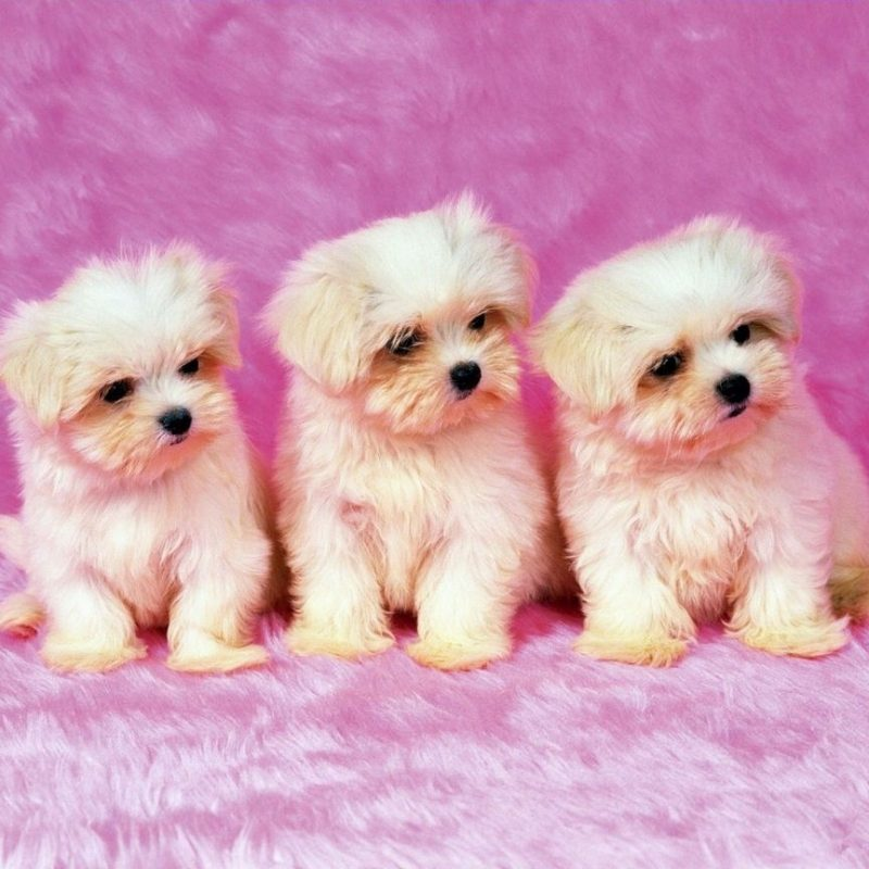 10 Most Popular Cute Puppies Wallpapers For Computer FULL HD 1920×1080 For PC Background 2018 free download puppy wallpapers free wallpaper wallpapers pinterest wallpaper 800x800