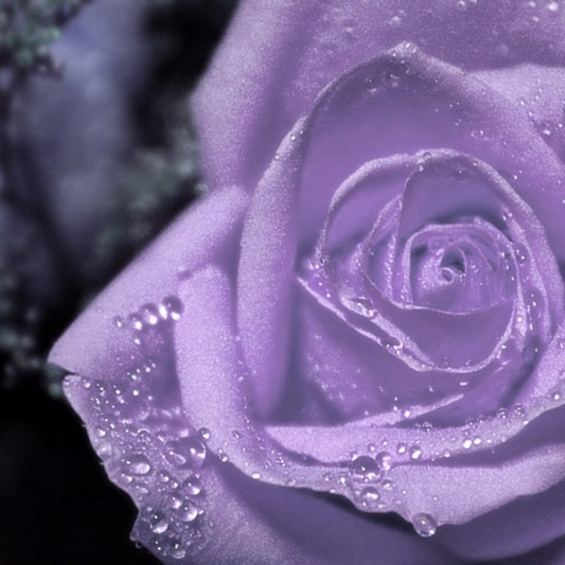 10 Most Popular Pic Of Purple Flowers FULL HD 1080p For PC Background 2018 free download purple flowers roses 22 free hd wallpaper hdflowerwallpaper 800x800