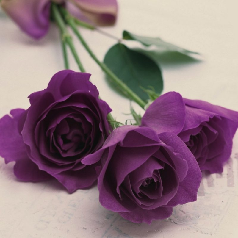 10 Latest Photos Of Purple Roses FULL HD 1920×1080 For PC Background 2018 free download purple roses purple roses wallpaper flowers pinterest 800x800