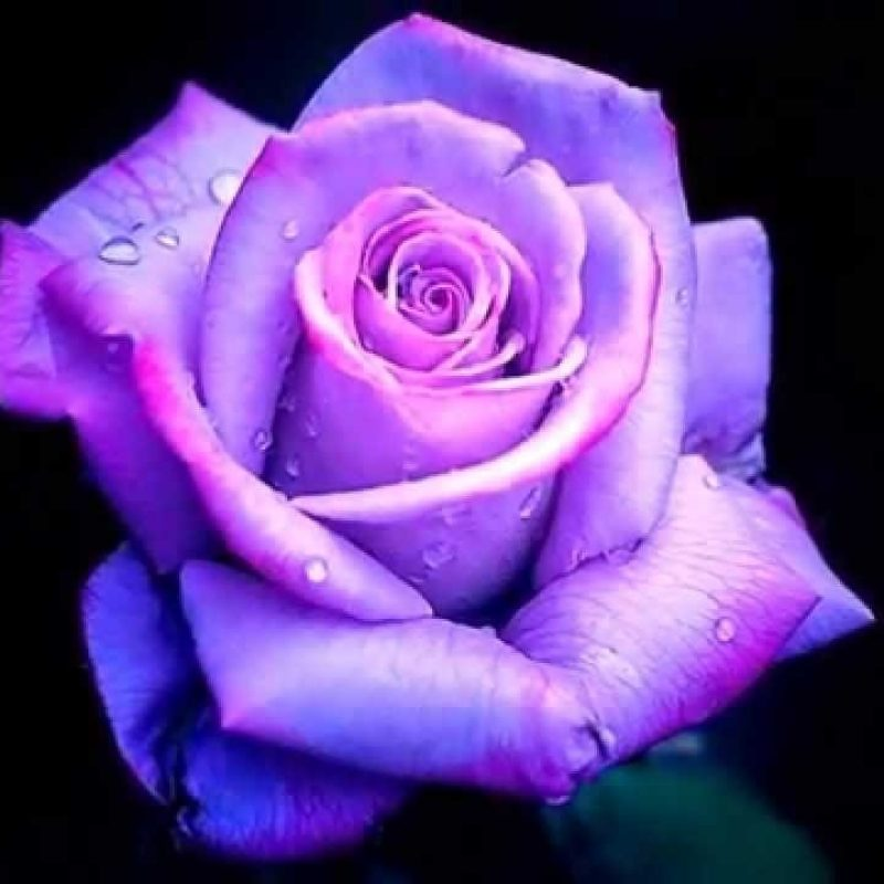 10 Latest Photos Of Purple Roses FULL HD 1920×1080 For PC Background 2018 free download purple roses youtube 800x800