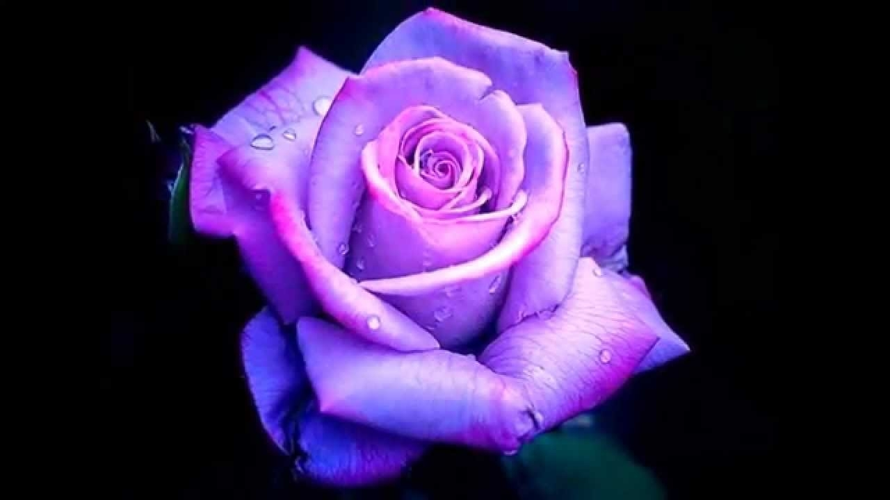 purple roses - youtube