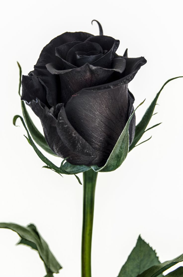 rare black rose only found in turkey — steemit