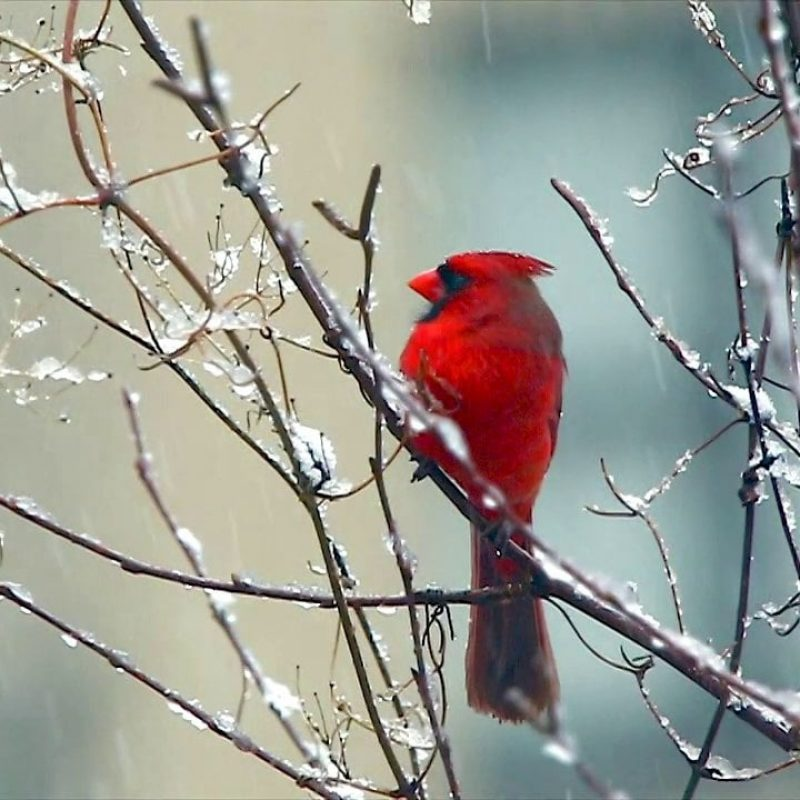 10 Best Cardinal Bird In Snow FULL HD 1080p For PC Background 2018 free download red cardinal bird signing in the snow on vimeo 1 800x800