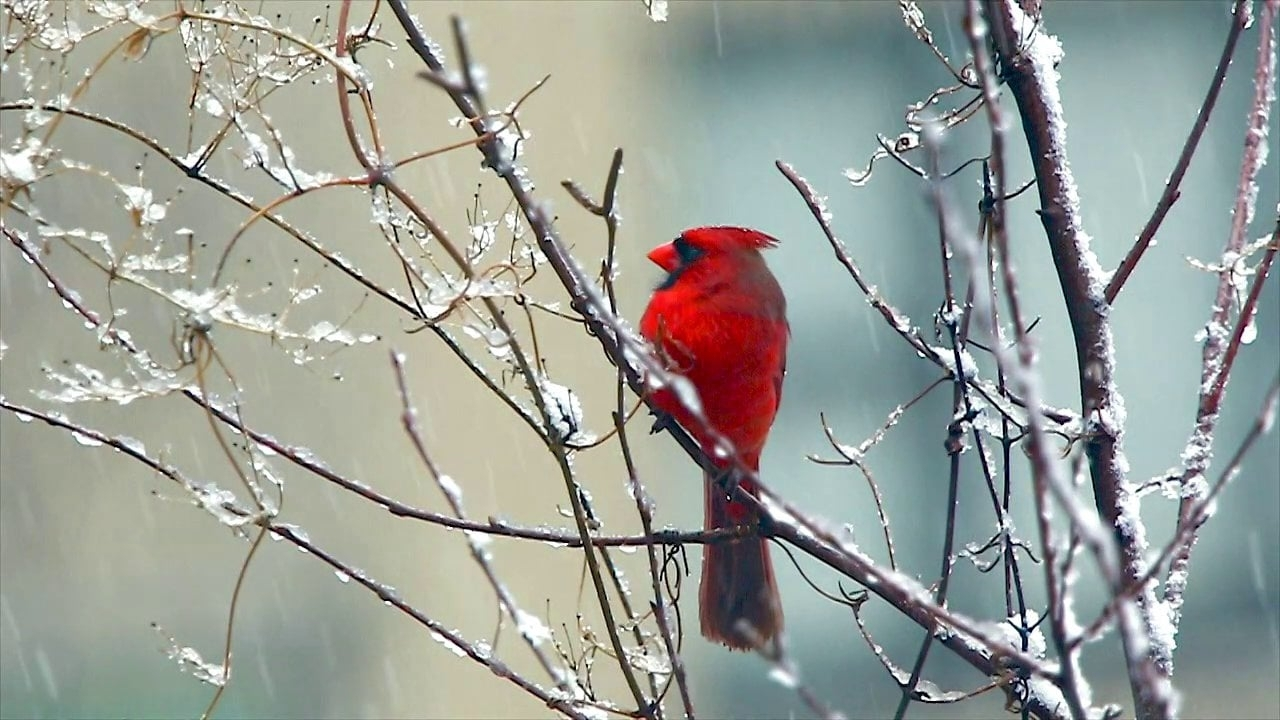 red cardinal bird signing in the snow on vimeo