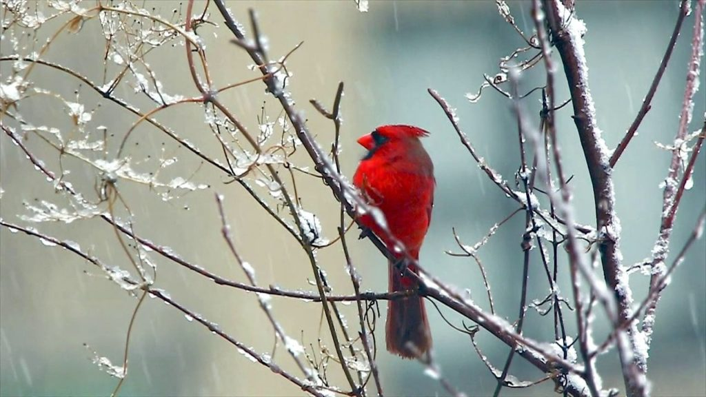 10 Most Popular Cardinal In Snow Pictures FULL HD 1920×1080 For PC Background 2020 free download red cardinal bird signing in the snow on vimeo 1024x576
