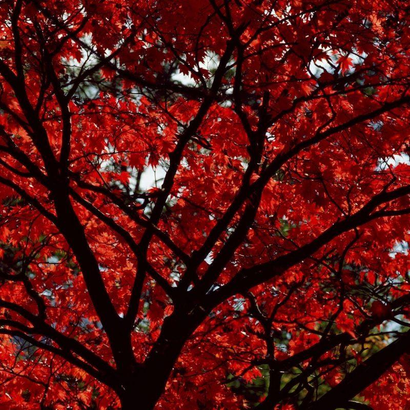 10 Best Red Fall Leaves Wallpaper FULL HD 1920×1080 For PC Desktop 2020 free download red fall leaves wallpaper images 5emok new outlooks construction 800x800
