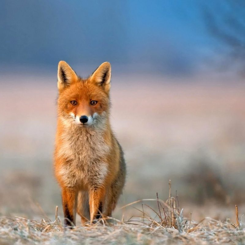 10 Best Red Fox Hd Wallpaper FULL HD 1920×1080 For PC Desktop 2018 free download red fox background wallpaper 08061 baltana 800x800