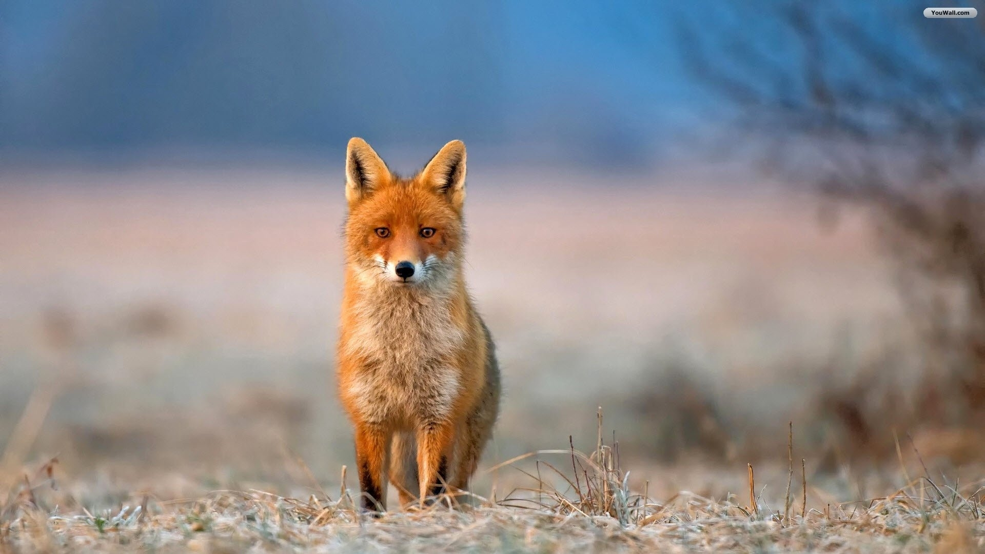 red fox background wallpaper 08061 - baltana