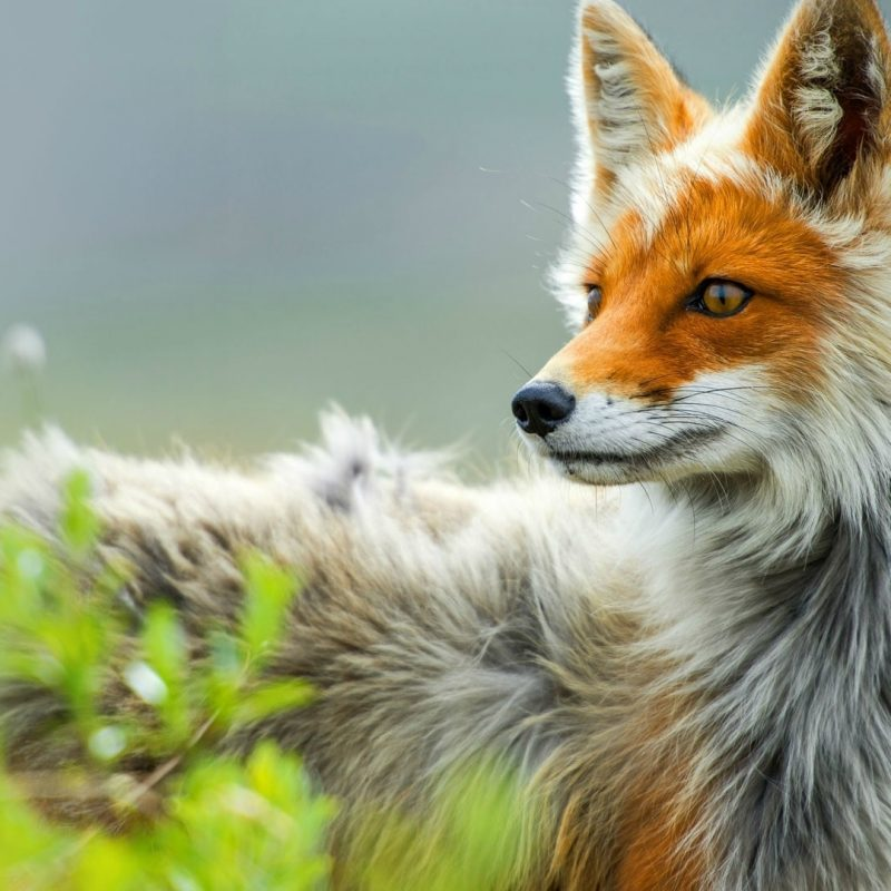 10 Best Red Fox Hd Wallpaper FULL HD 1920×1080 For PC Desktop 2018 free download red fox forest photos 08075 baltana 800x800