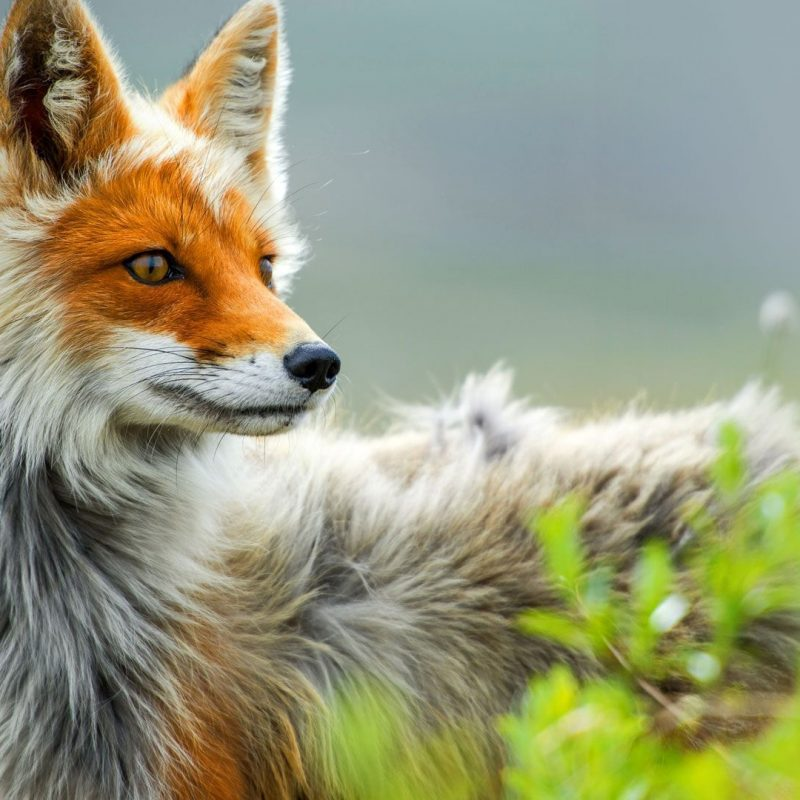 10 Best Red Fox Hd Wallpaper FULL HD 1920×1080 For PC Desktop 2018 free download red fox wallpapers red fox wallpapers and pictures collection 40 800x800