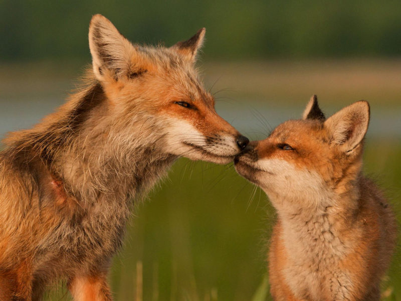 10 New Images Of Foxes FULL HD 1080p For PC Background 2018 free download red foxes delaware 800x600