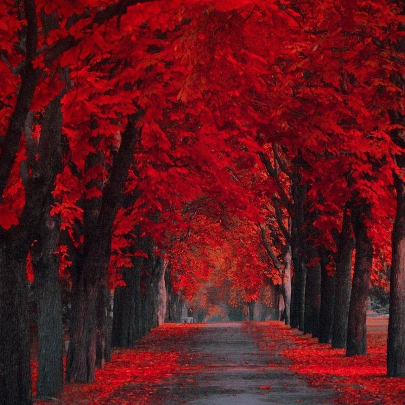 10 Best Red Fall Leaves Wallpaper FULL HD 1920×1080 For PC Desktop 2018 free download red leaves wallpaper wallpapersafari shades of red pinterest 800x800