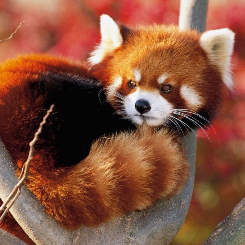 10 Top Red Panda Wallpaper 1920X1080 FULL HD 1920×1080 For PC Background 2018 free download red panda backgrounds wallpaper cave 800x800