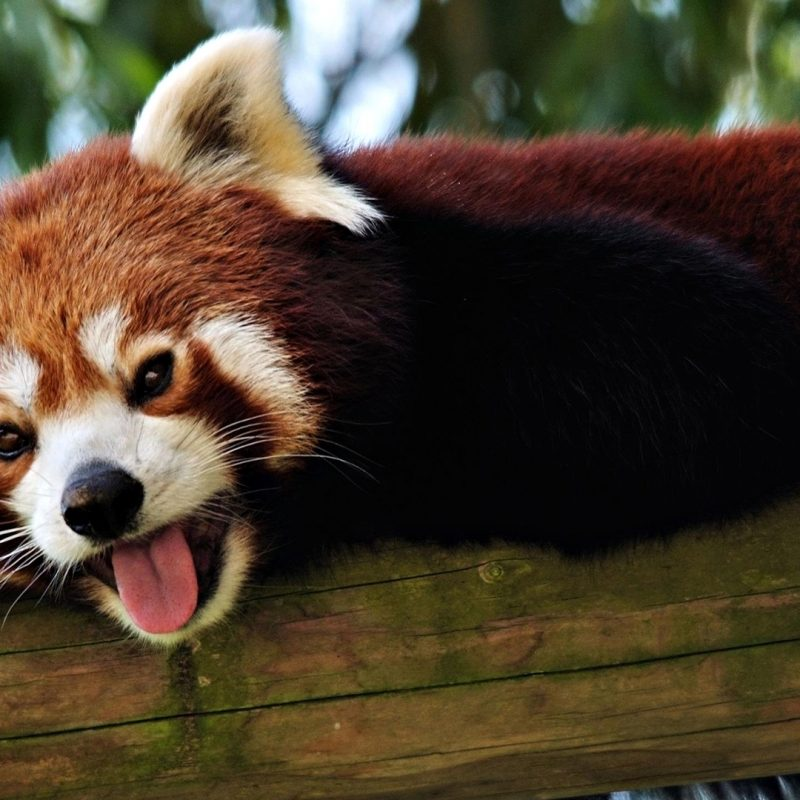 10 Top Red Panda Wallpaper 1920X1080 FULL HD 1920×1080 For PC Background 2018 free download red panda wallpaper 27516 1920x1080 px hdwallsource 800x800