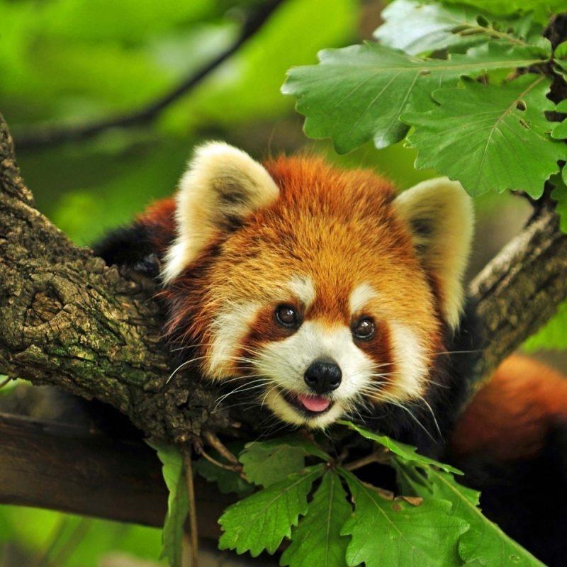 10 Top Red Panda Wallpaper 1920X1080 FULL HD 1920×1080 For PC Background 2018 free download red panda wallpaper hd 28174 baltana 800x800