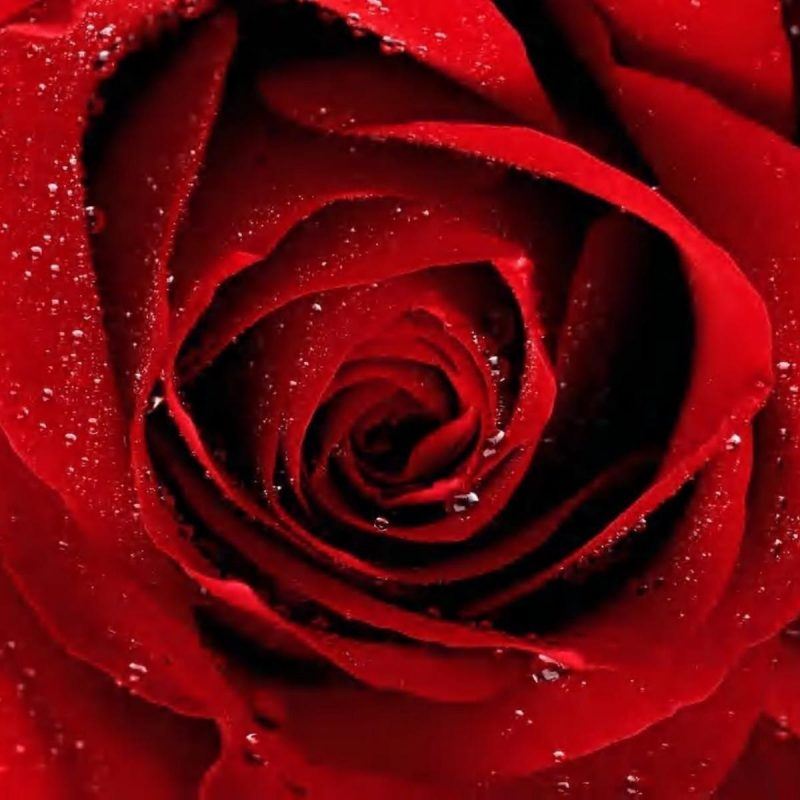 10 New Red Roses With Black Backgrounds FULL HD 1080p For PC Background 2018 free download red rose black backgrounds wallpaper cave 800x800
