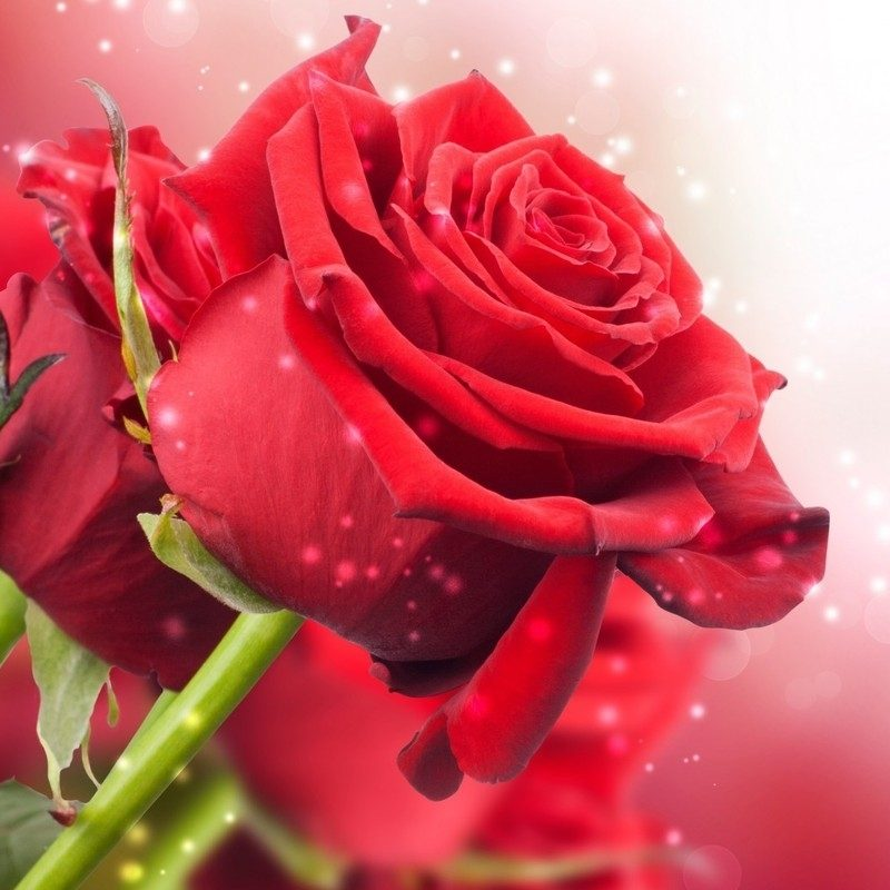 10 Best Roses Wallpapers Free Download FULL HD 1920×1080 For PC Background 2020 free download red rose wallpapers free download images wallpapers pinterest 800x800