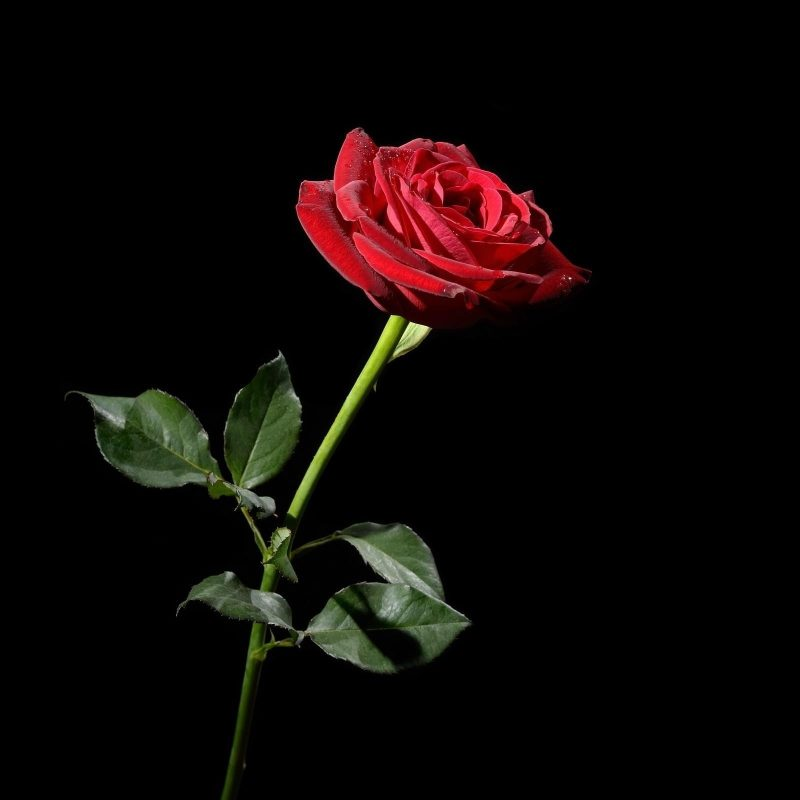 10 Best Roses On Black Background FULL HD 1920×1080 For PC Background 2018 free download red rose with black background 42 images 800x800