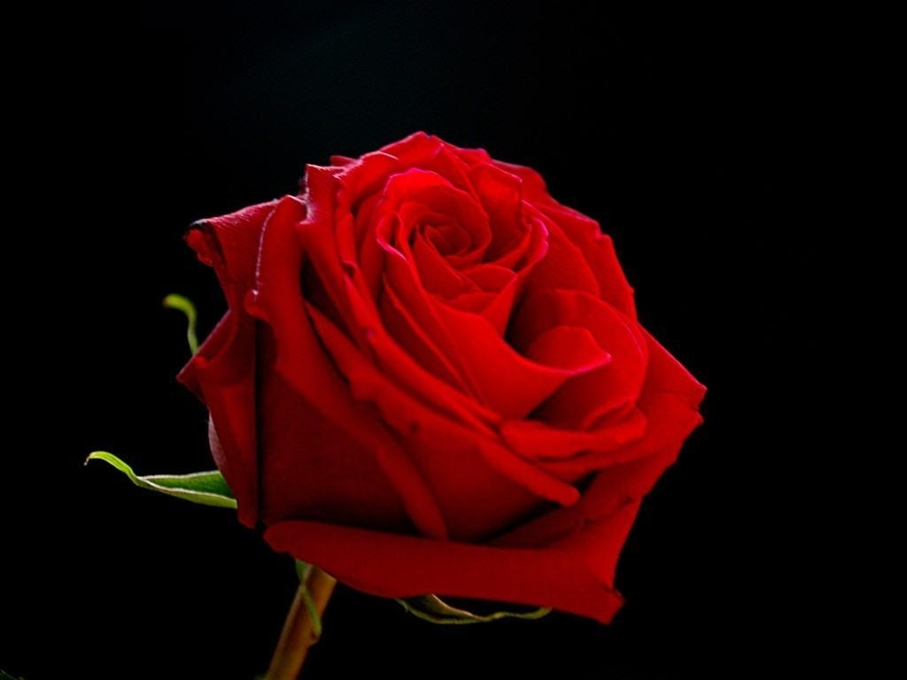 red rose with black backgrounds - wallpaper cave