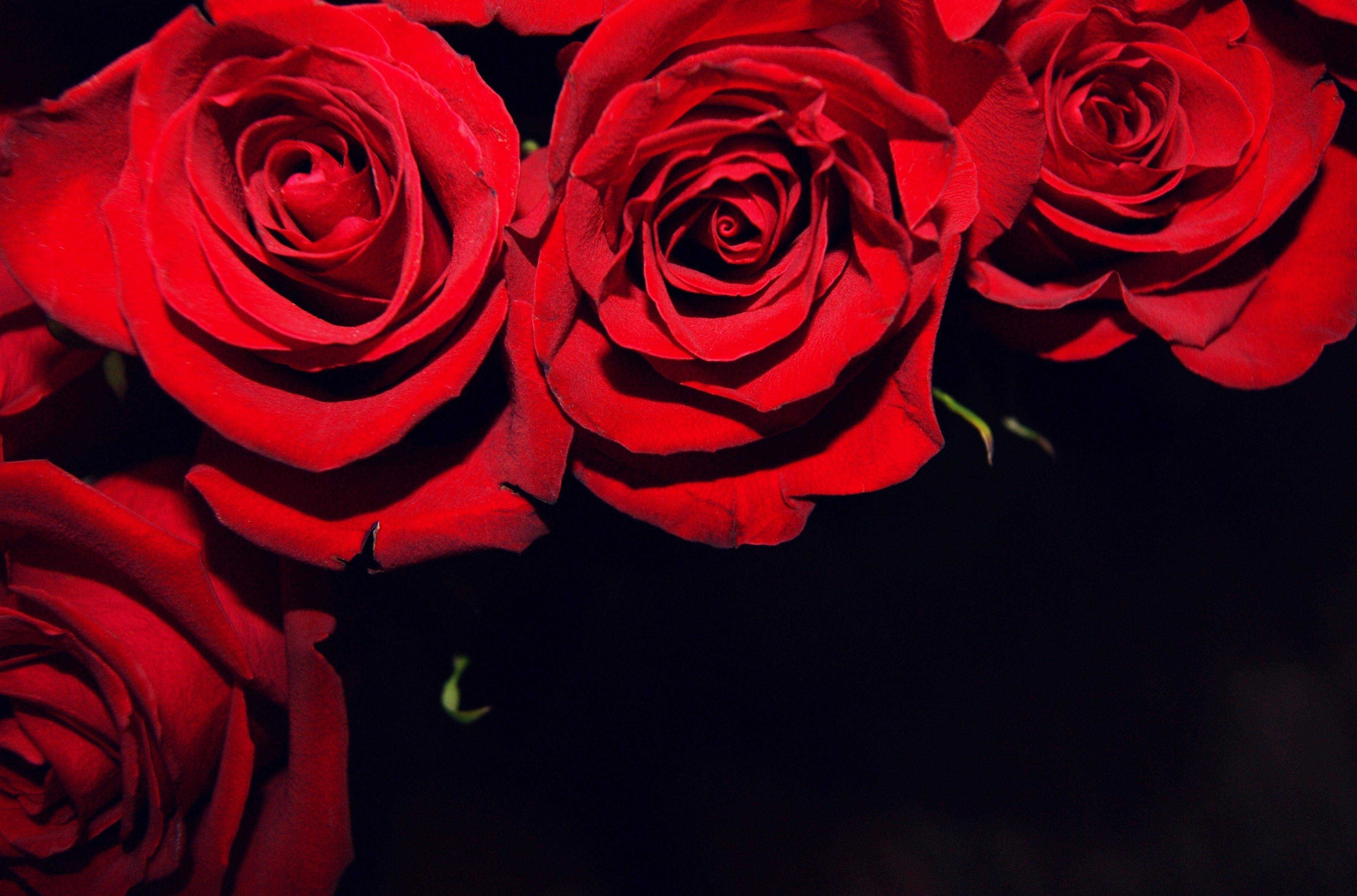 red roses on black backgrounds wallpaper gallery with background