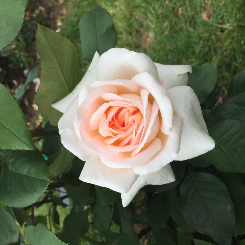 10 Most Popular A Rose Pic FULL HD 1920×1080 For PC Desktop 2018 free download rose des jahres 2018 gesellschaft deutscher rosenfreunde e v 1 800x800