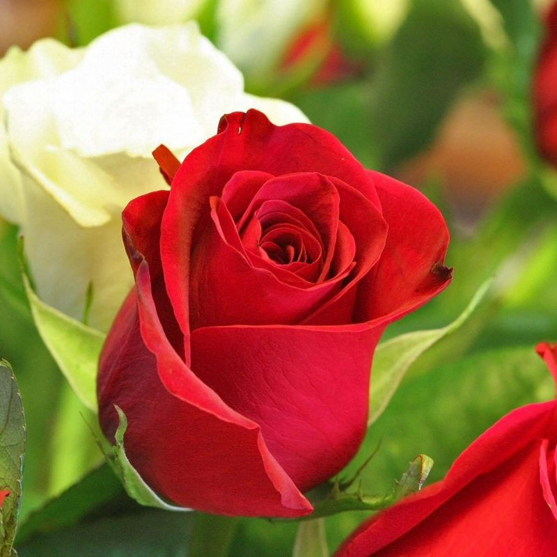 10 Best Rose Flower Images Free Download Hd FULL HD 1080p For PC Desktop 2018 free download rose flower images free download hd download 800x800
