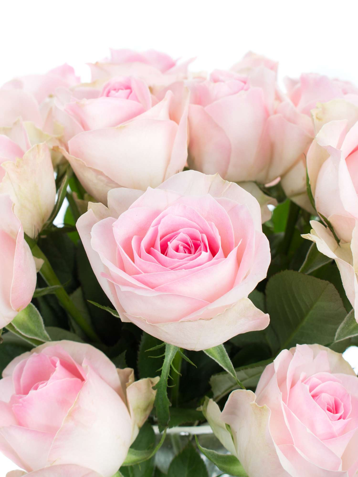 "rosen ""avalanche sorbet"" hell rosé bestellen | blumigo"