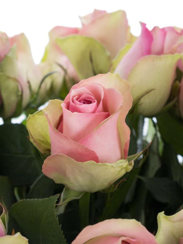 10 Most Popular A Rose Pic FULL HD 1920×1080 For PC Desktop 2018 free download rosen belle rose rosa bestellen blumigo 600x800