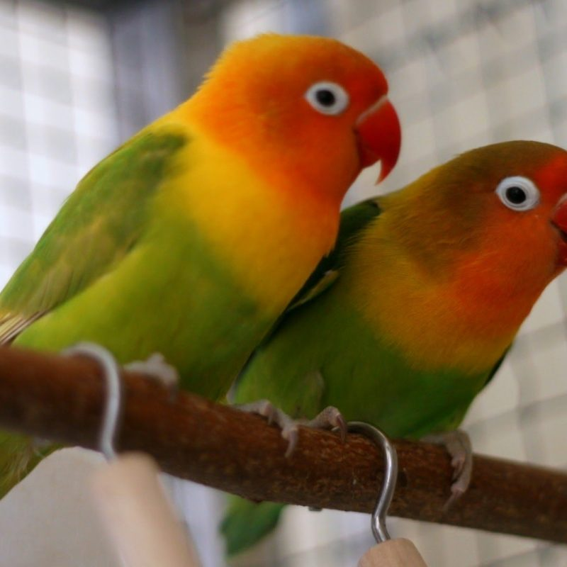 10 Latest Images Of Love Bird FULL HD 1080p For PC Background 2020 free download rosy faced lovebird youtube 800x800