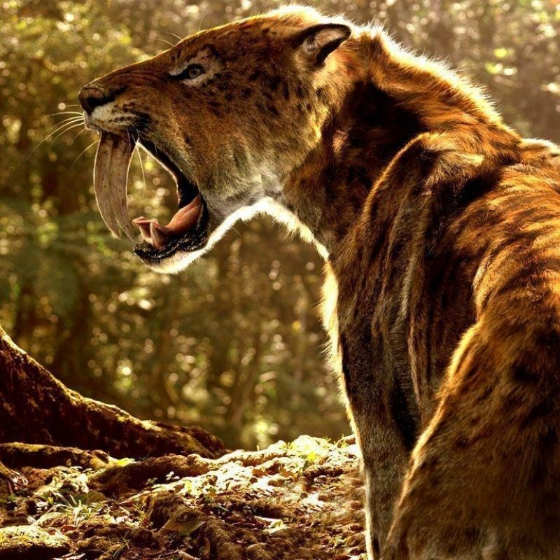 10 Best Saber Tooth Tiger Wallpapers FULL HD 1920×1080 For PC Background 2018 free download sabertooth wallpapers wallpaper cave 800x800