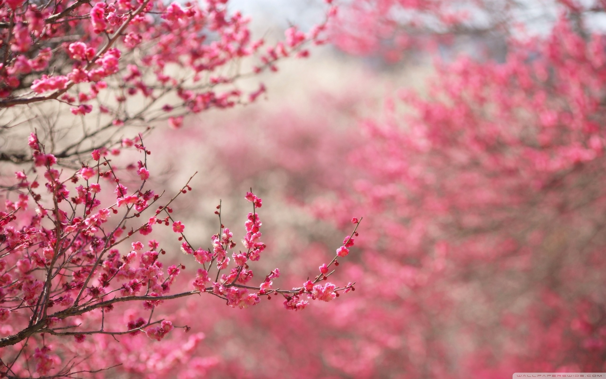 10 Latest Cherry Blossoms Wallpaper Hd FULL HD 1920×1080 For PC Background