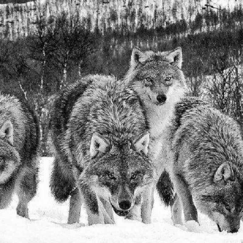 10 Best Wolf Pack Wallpaper Hd FULL HD 1080p For PC Background 2018 free download screenheaven black and white wolf pack dogs animals snow nature 800x800