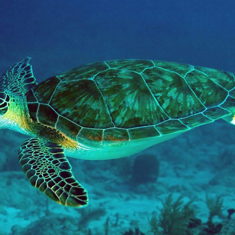10 Top Sea Turtle Hd Wallpaper FULL HD 1920×1080 For PC Desktop 2018 free download sea turtle 4k ultra hd fond decran and arriere plan 3840x2160 800x800