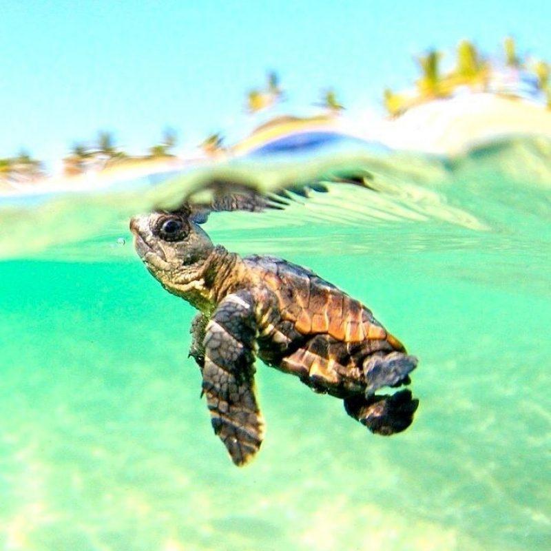 10 Best Baby Sea Turtle Wallpaper FULL HD 1080p For PC Background 2018 free download sea turtle desktop wallpaper wallpapers pinterest wallpaper 1 800x800