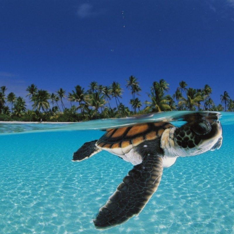10 Best Baby Sea Turtle Wallpaper FULL HD 1080p For PC Background 2018 free download sea turtles wallpapers wallpaper cave 1 800x800