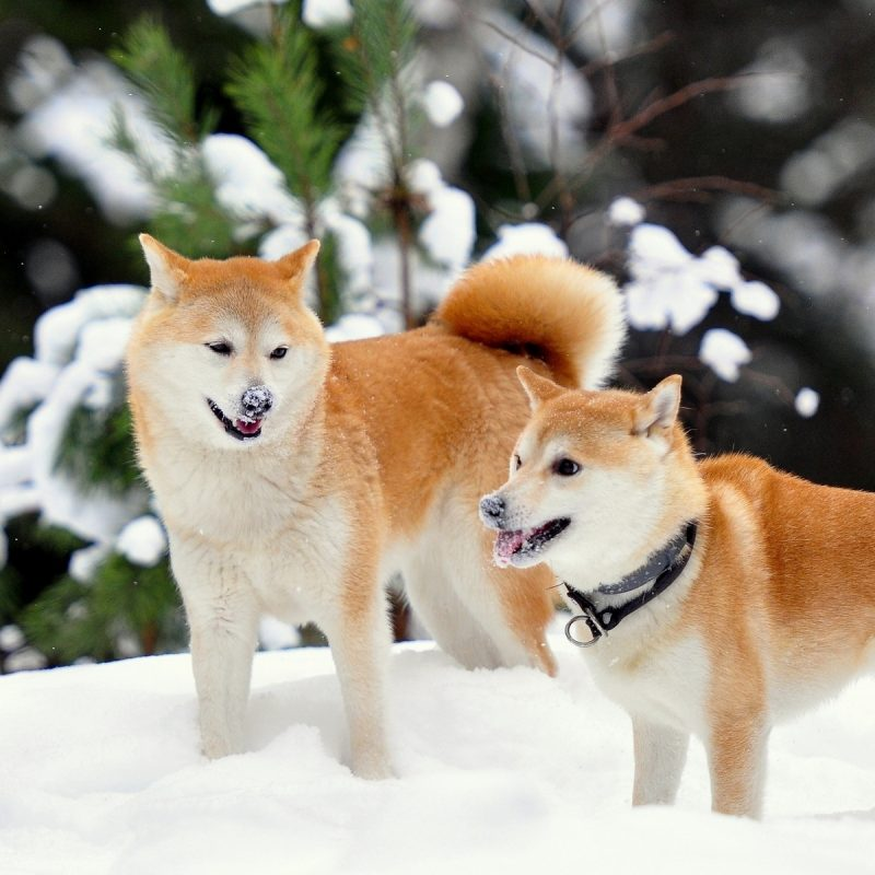 10 Top Shiba Inu Wallpaper 1920X1080 FULL HD 1080p For PC Desktop 2020 free download shiba full hd fond decran and arriere plan 1920x1200 id427629 800x800