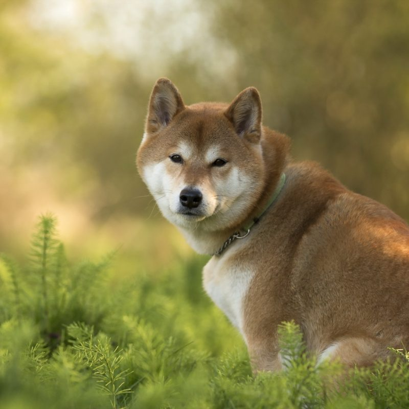 10 Top Shiba Inu Wallpaper 1920X1080 FULL HD 1080p For PC Desktop 2020 free download shiba inu full hd wallpaper and background image 1920x1080 id542936 800x800