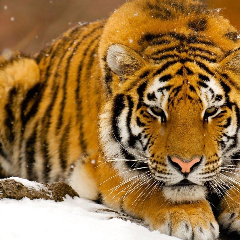 10 Most Popular Siberian Tiger Wallpaper Hd 1080P FULL HD 1920×1080 For PC Desktop 2018 free download siberian tiger in snow e29da4 4k hd desktop wallpaper for 4k ultra hd tv 800x800