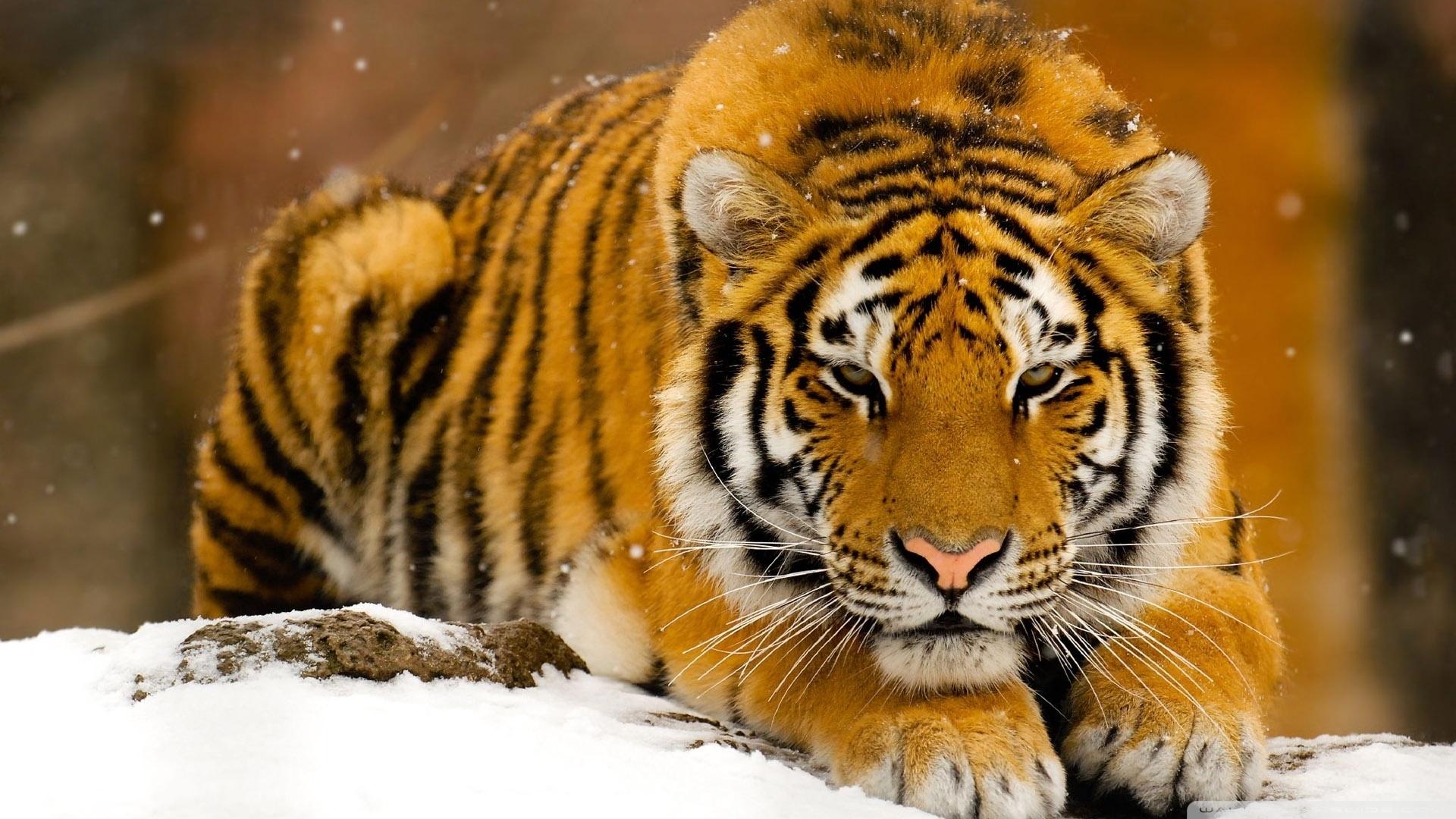 siberian tiger in snow ❤ 4k hd desktop wallpaper for 4k ultra hd tv