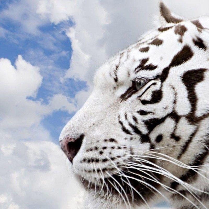 10 Most Popular Siberian Tiger Wallpaper Hd 1080P FULL HD 1920×1080 For PC Desktop 2018 free download siberian tiger wallpapers wallpaper cave 1 800x800