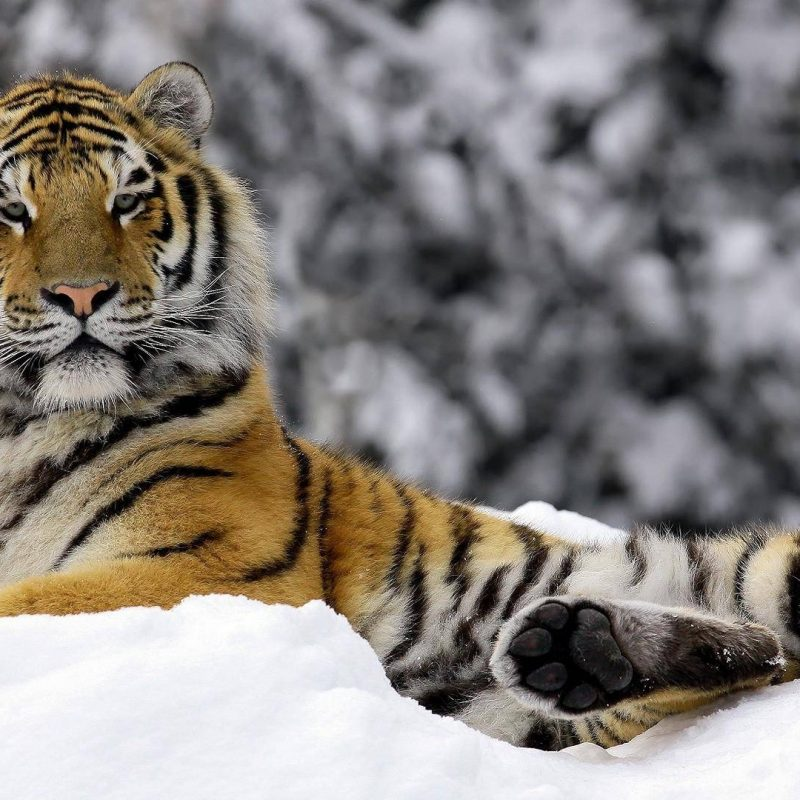 10 Most Popular Siberian Tiger Wallpaper Hd 1080P FULL HD 1920×1080 For PC Desktop 2018 free download siberian tiger wallpapers wallpaper cave 800x800