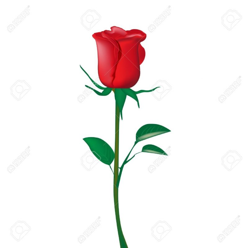 10 New Picture Of A Single Red Rose FULL HD 1920×1080 For PC Desktop 2018 free download single red rose isolated on white royalty free cliparts vectors 800x800