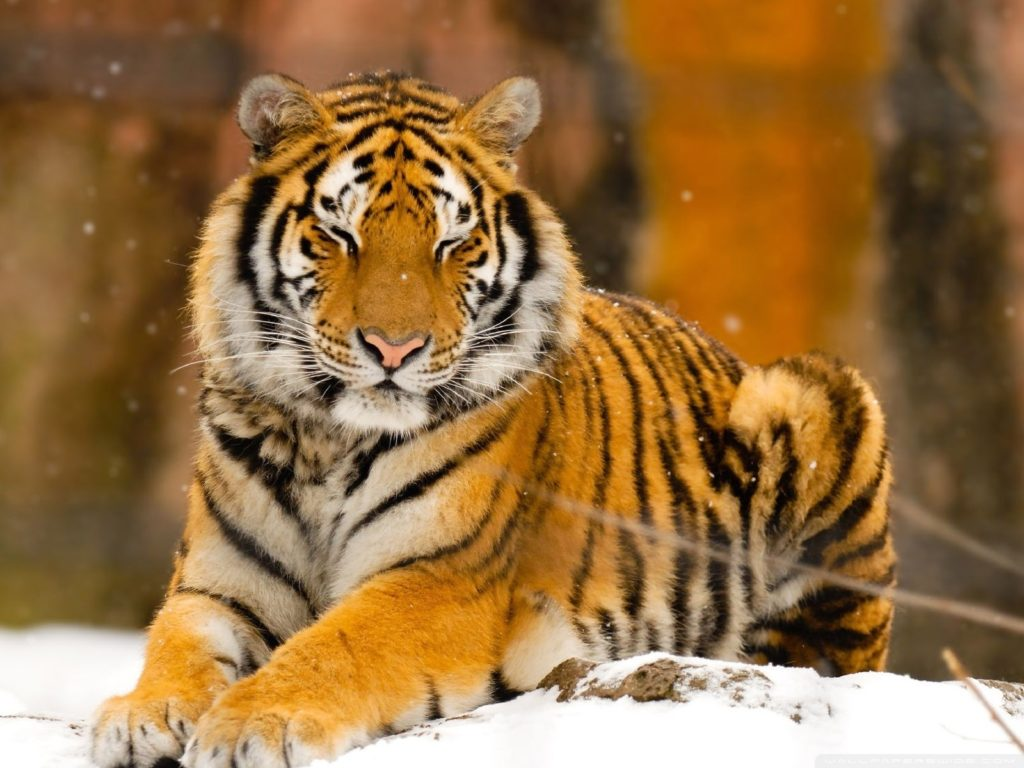 10 Top Wild Animal Wall Paper FULL HD 1080p For PC Desktop 2020 free download sleepy siberian tiger wild animal e29da4 4k hd desktop wallpaper for 1024x768