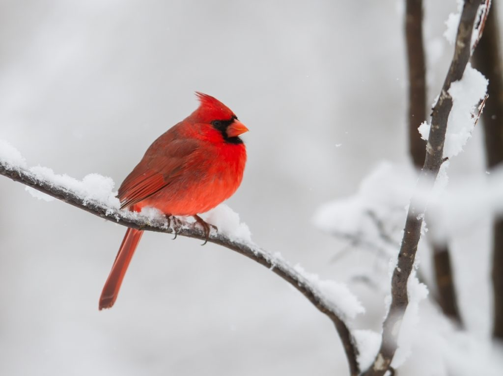 10 Most Popular Cardinal In Snow Pictures FULL HD 1920×1080 For PC Background 2020 free download snow storm roads end naturalist 1 1024x766