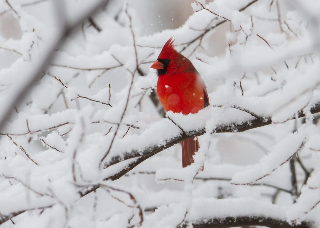 10 Most Popular Cardinal In Snow Pictures FULL HD 1920×1080 For PC Background 2020 free download snow storm roads end naturalist 1024x731