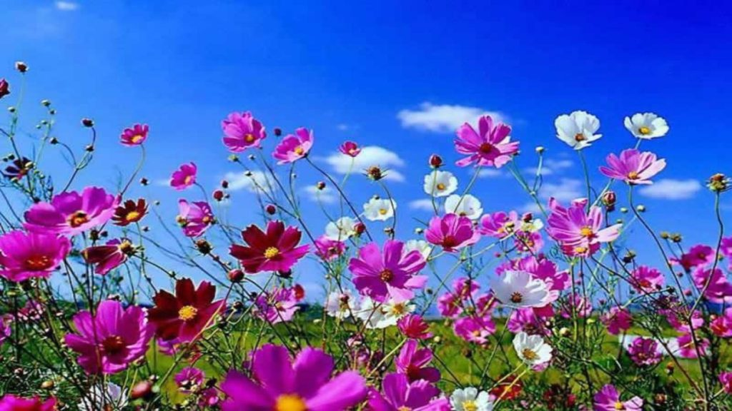 10 Most Popular Spring Flower Background Images FULL HD 1920×1080 For PC Background 2018 free download spring flowers background desktop c2b7e291a0 1024x576