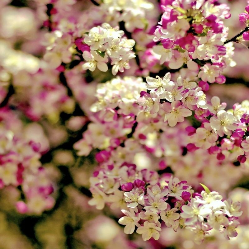 10 Best Pictures Of Spring Flowers For Wallpaper FULL HD 1080p For PC Background 2018 free download spring flowers background wallpaper spring tree flowers categories 800x800