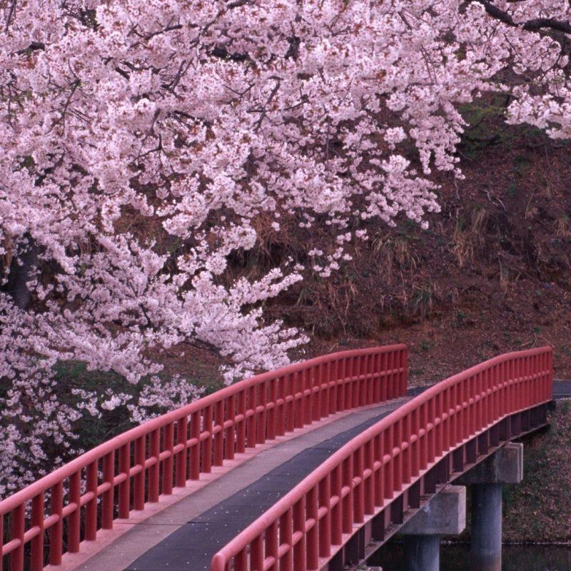 10 Top Cherry Blossom Tree Wallpaper Desktop FULL HD 1920x1080 For PC 2018